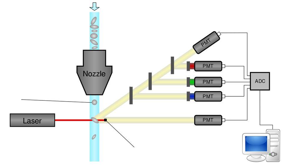 Slik kan en flytcytometri-prosess se ut. Laseren lyser på cellene på vei gjennom apparatet, og forskjellige egenskaper gjør at de reflekterer lyset på forskjellige måter. Fluoriserende fargestoff tilsettes cellene som en del av prosessen.