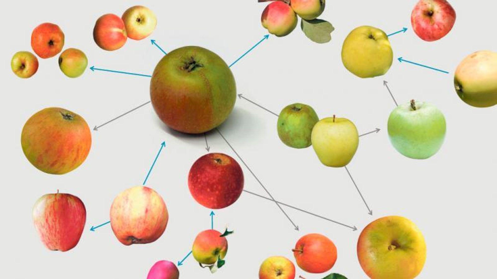 Mange eplesorter har oppstått helt tilfeldig av seg selv. I fremtiden kan genetikk brukes til å målrette utviklingen av nye eplesorter.