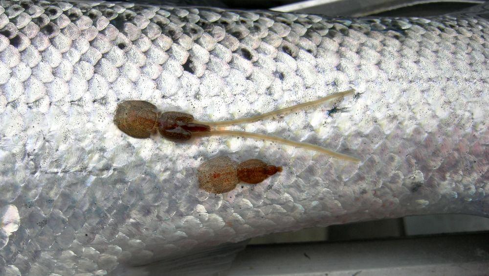 Lakselus, eller Lepeophtheirus salmonis, er en naturlig parasitt på laksefisk i saltvann på den nordlige halvkule. Lusene spiser hud, slim og blod på fisken, og kan lage store sår hvis det mange av dem på en fisk. For oppdrettsnæringen utgjør lus et stort og økende problem.