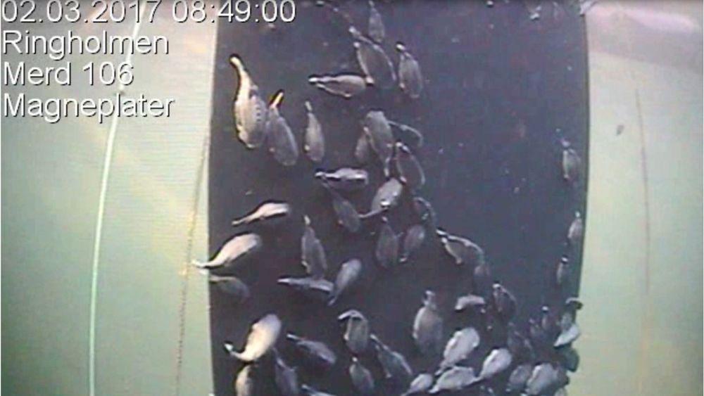 Bildet viser hvordan rognkjeks bruker pastplatene som skjul under forsøkene i en av Lerøys oppdrettsmerder utenfor Hitra.