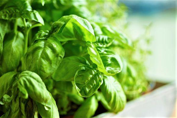 Basilikum kan du dyrke inne eller ute.