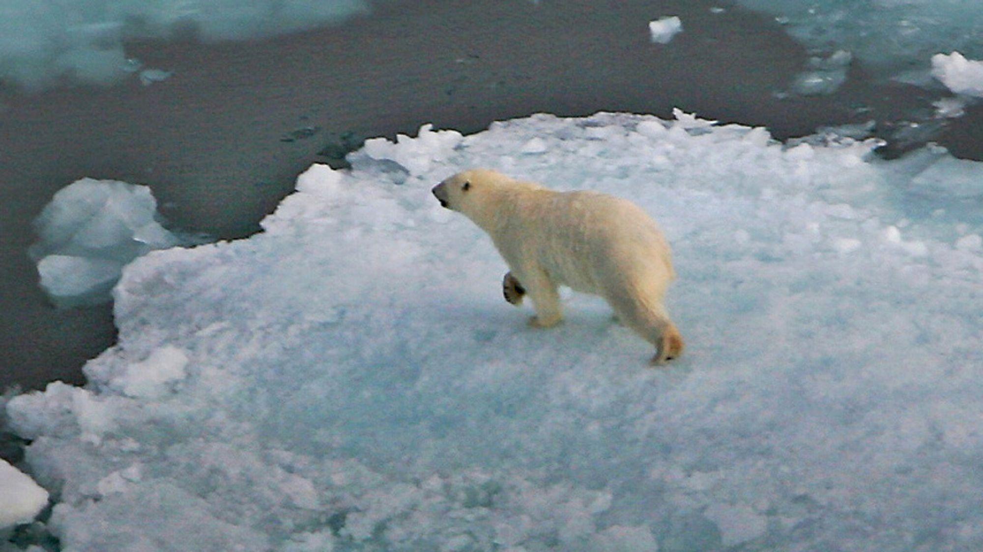 Mange har feiloppfatninger om norske nordområder, ifølge fagforeningen Industri Energi. Selv om noe kalles Arktis, er det ikke nødvendigvis isbjørner og isfjell i området. Her er en isbjørn på et isflak på Svalbard.