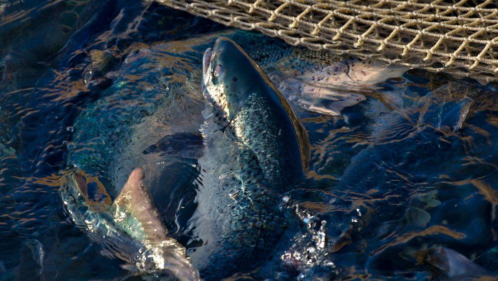 Sintef tror det er mulig å hente større verdier fra fiskeblod.