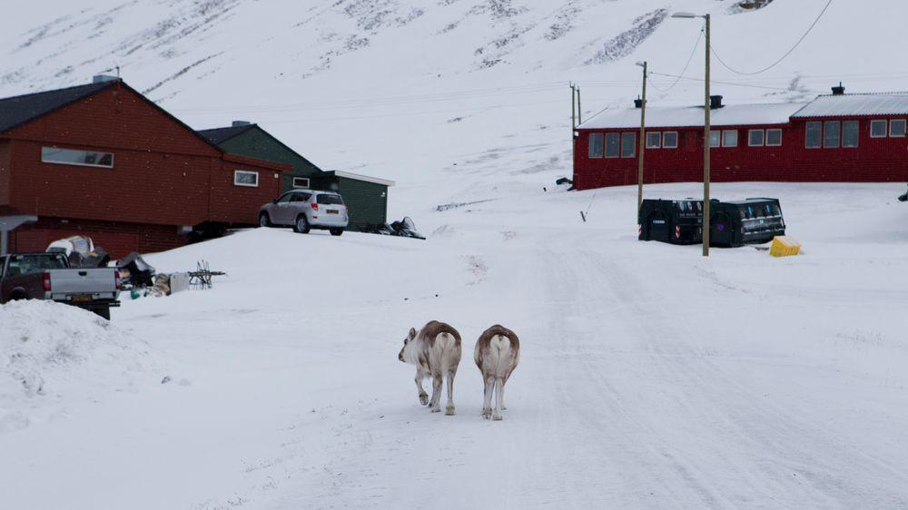 Regn som frøs på bakken sist vinter førte til at mange reinsdyr på Svalbard sultet i hjel.