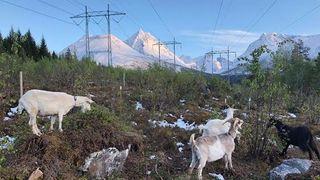 Kraftselskap rydder kraftgater med geiter: Norskutviklede, digitale strømgjerder holder dem på plass