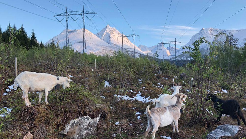 40 geiter jobber som linjeryddere for Statnett i Isfjorden i Romsdalen. De spiser alt de kommer over og lar seg ikke stoppe av ulendt terreng.