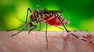 Genmodifisert mygg kan ha skapt en enda verre hybrid