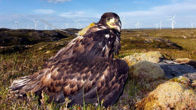 Faktisk.no: 100 havørner funnet drept av vindturbiner på Smøla