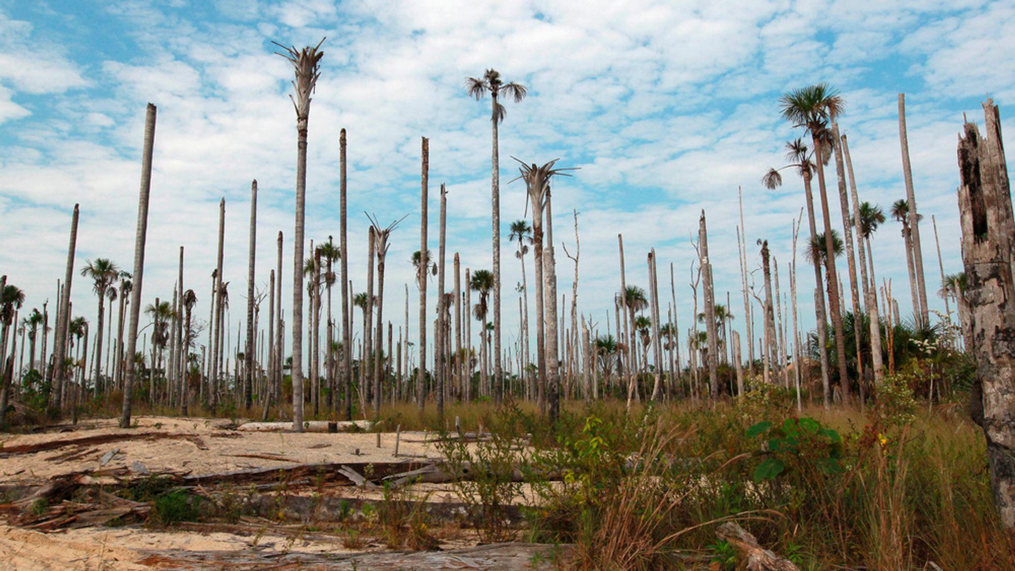 Illegale gullgruver bidrar til å avskoge deler av Amazonas, som her ved Puerto Luz. Minst 18000 hektar skog er forvandlet til ørken i området. De illegale gullgruvene pekes på som en hovedårsak, ved siden av landbruk.