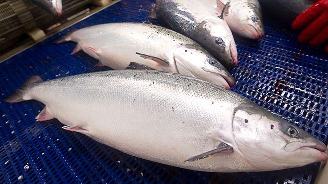 Eksport av norsk sjømat på vei mot 100 milliarder kroner