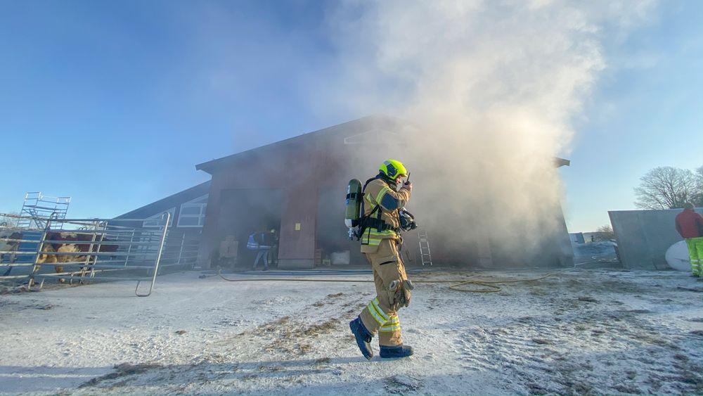 Å evakuere kyr fra et brennende fjøs er krevende. Heldigvis er dette bare en øvelse på Mære landbruksskole i Steinkjer. De siste årene har antall husdyrbranner gått ned. I 2018 var det 9 mot 30 i 2024 ifølge tall fra Landbrukets brannvernkomité.