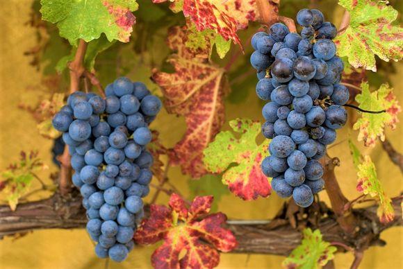 Valget av syrah som hoveddrue for den røde vinen henger selvsagt sammen med denne druens historiske tilknytning til Midtøsten.