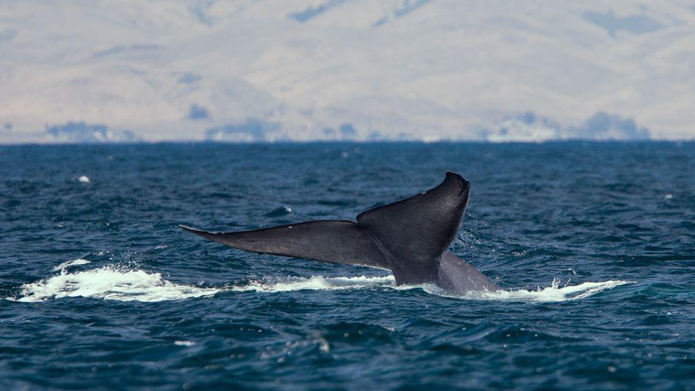 Amerikanske forskere har for første gang klart å sette måleutstyr på en blåhvalhann for å måle hvalens dagligliv.