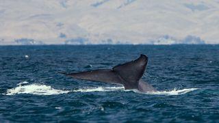 Forskere har klart å måle blåhvalers hjerterytme med en sugekopp. Kan gi svar på hvorfor de ikke blir enda større