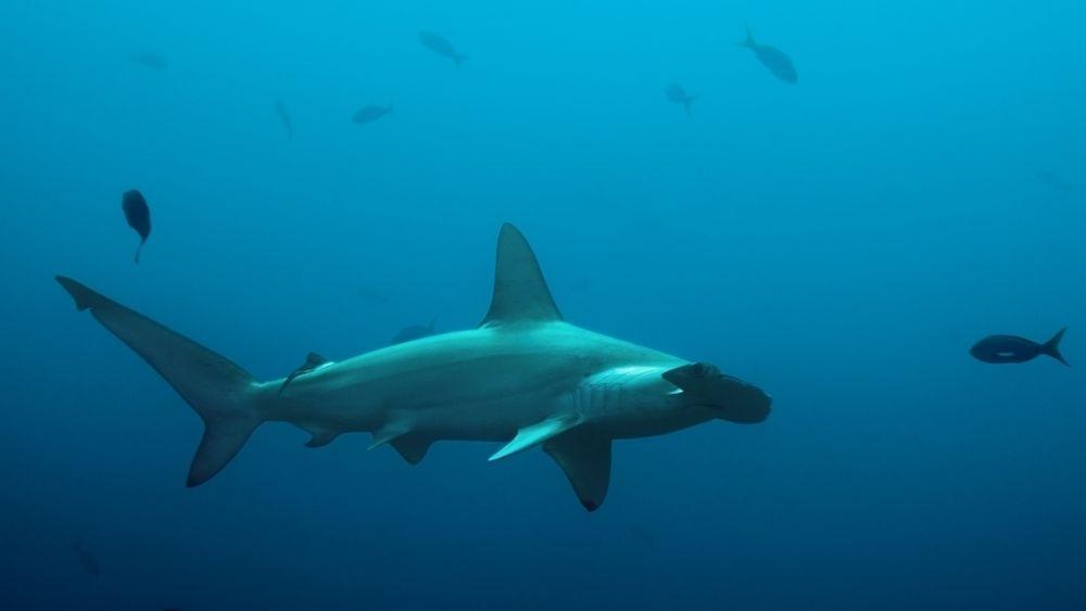Omfanget av oksygenfattige områder i verdenshavene er firedoblet på 50 år, og generelt fallende oksygennivåer rammer spesielt store dyr som sverdfisk, tunfisk og haier.