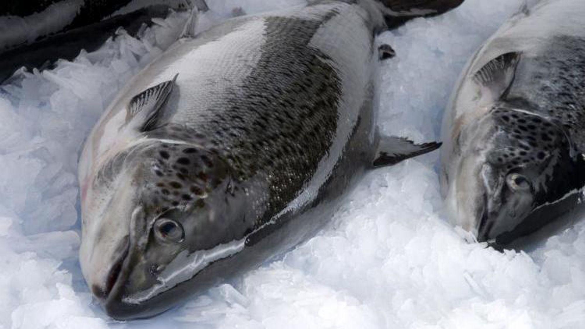 Piscirickettsia er ein type bakterie som gøymer seg inne i sjølve immuncellene til fisken. Det gjer det vanskelegare å utvikla vaksinar mot dei.