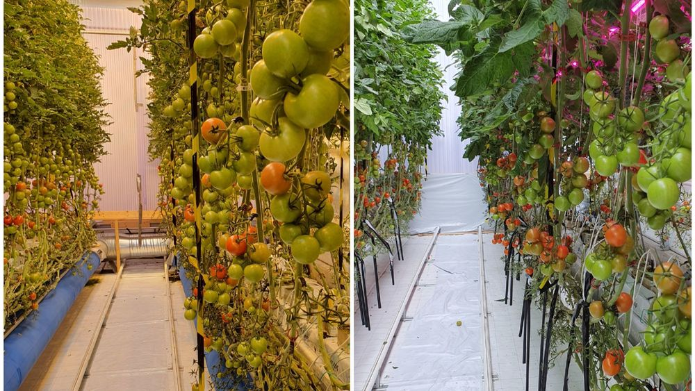 Bildet til venstre viser tomatproduksjon med CO₂-fangst, bildet til høyre er uten. Forskjellen i avlingsstørrelse skal være på 20 prosent, ifølge forskerne.