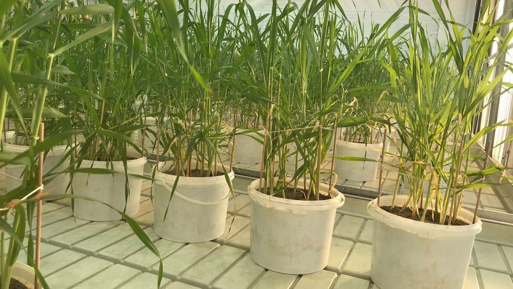 Byggkornet tok til seg mindre fosfor fra biokull.