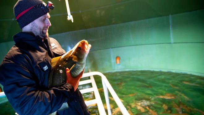 Etter åtte år uten å ha solgt en eneste fisk, har de nå solgt tre millioner torsk på noen måneder