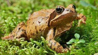 Bakteriar og froskar kan gje oss framtidas sårmedisinar