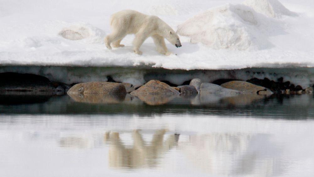 Smeltende sjøis om sommeren gjør det vanskeligere for isbjørn å jakte. Noen forskere tror at sommersjøisen kan være borte innen 2040.