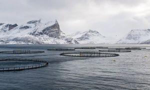 Bilde av rensemerder i havet i arktisk klima, med snødekte fjell i bakgrunnen
