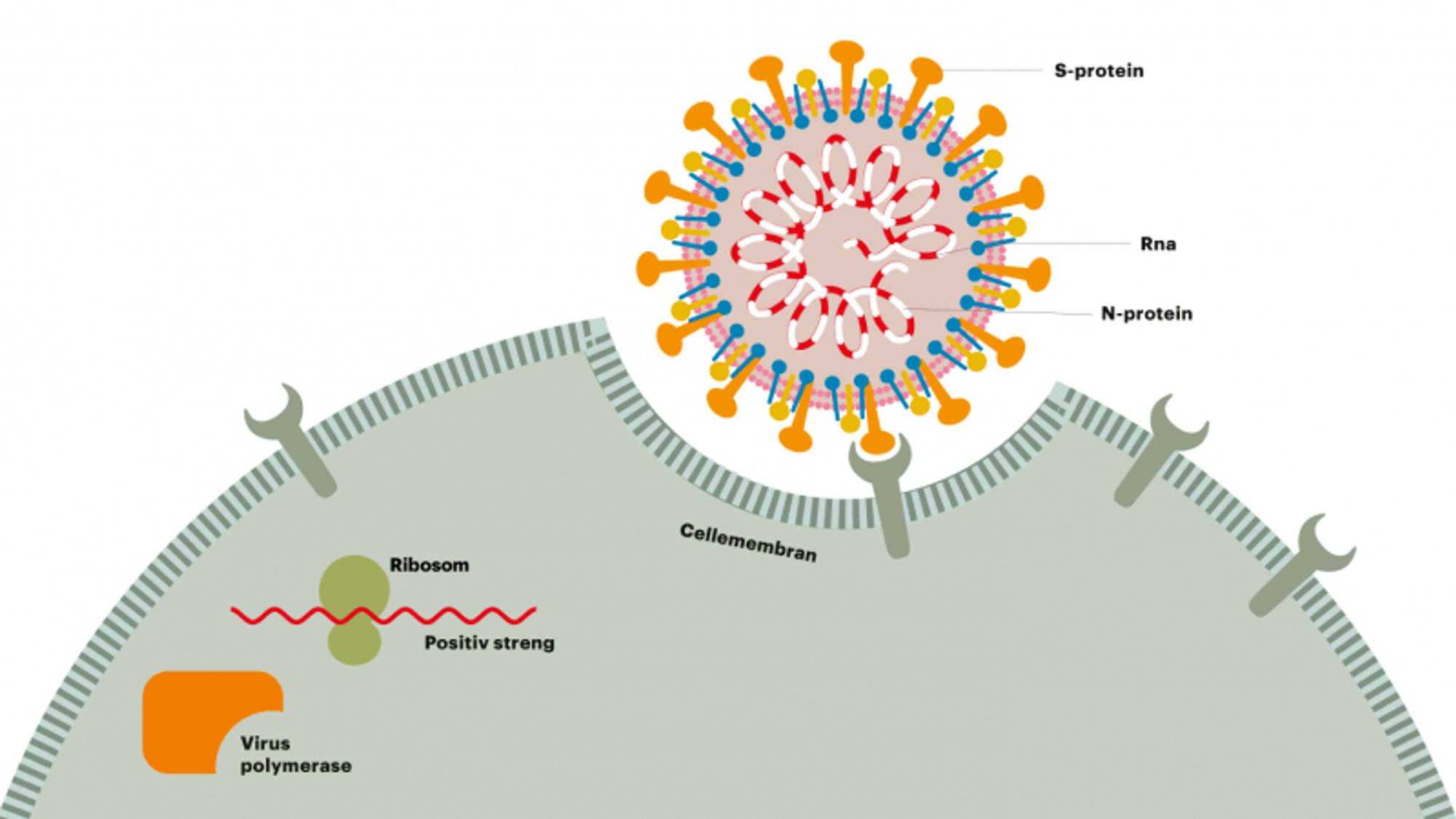 Antistoffer kan hindre viruset i å trenge inn i cellene.