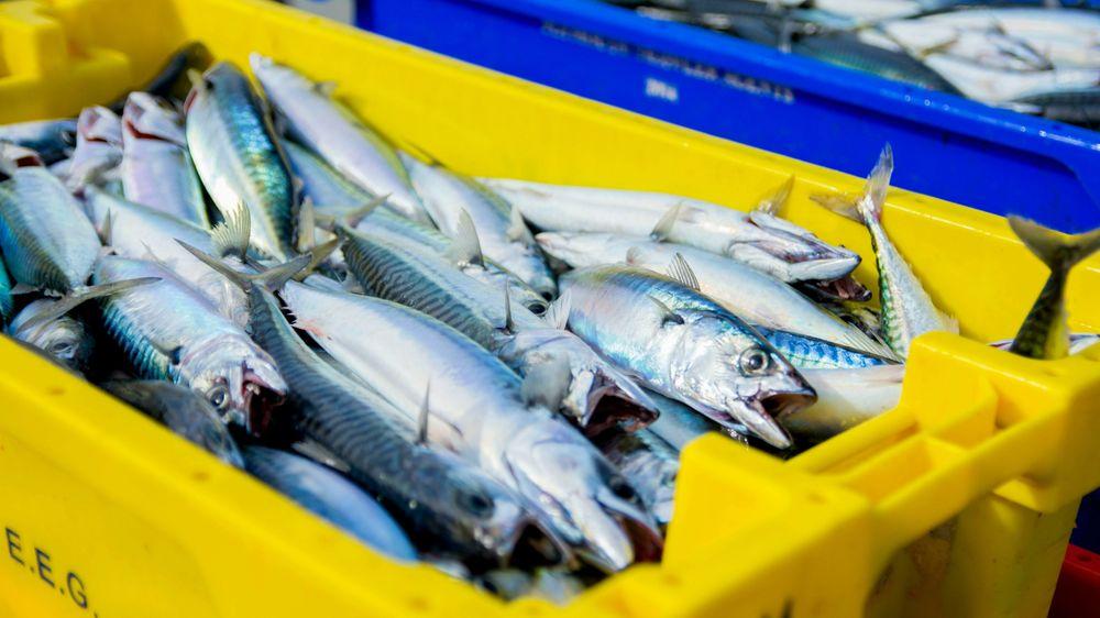 Vi nærmer oss produksjon av næringsrikt proteinpulver fra makrell-avskjær, i industriskala til et ventende marked. Alt råstoffet kan brukes, skriver innsenderne i dette innlegget