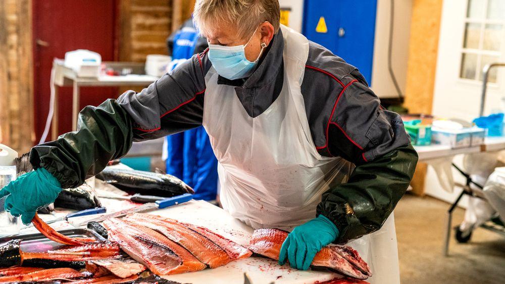 Grethe Rosenlund avslutter verdens første fullskalaoppdrett i sjø på forskningssenteret CAC «Centre for Aquacultur Competence AS» i Hjelmeland, med laks som kun har fått fôr uten hverken fiskemel eller fiskeolje.