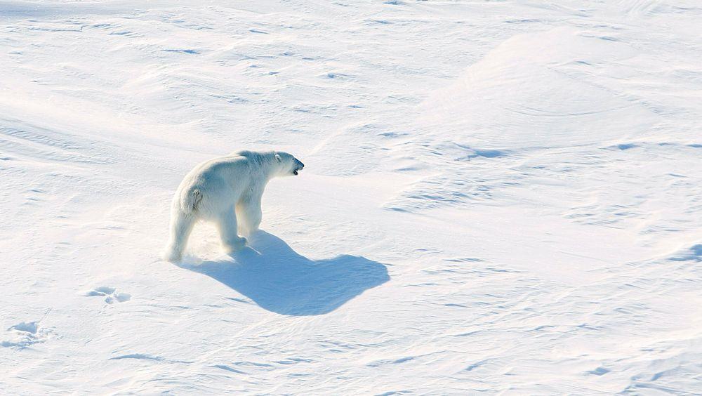 En isbjørn lusker på isen på rundt 82 grader nord, ikke langt unna det norske forskningsskipet Lance, i 2015. Bildet er tatt fra helikopter.
