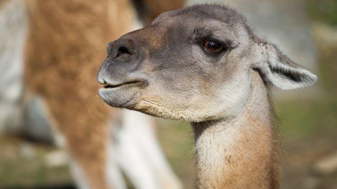 Antistoffer fra lamaer skal gi friske griser