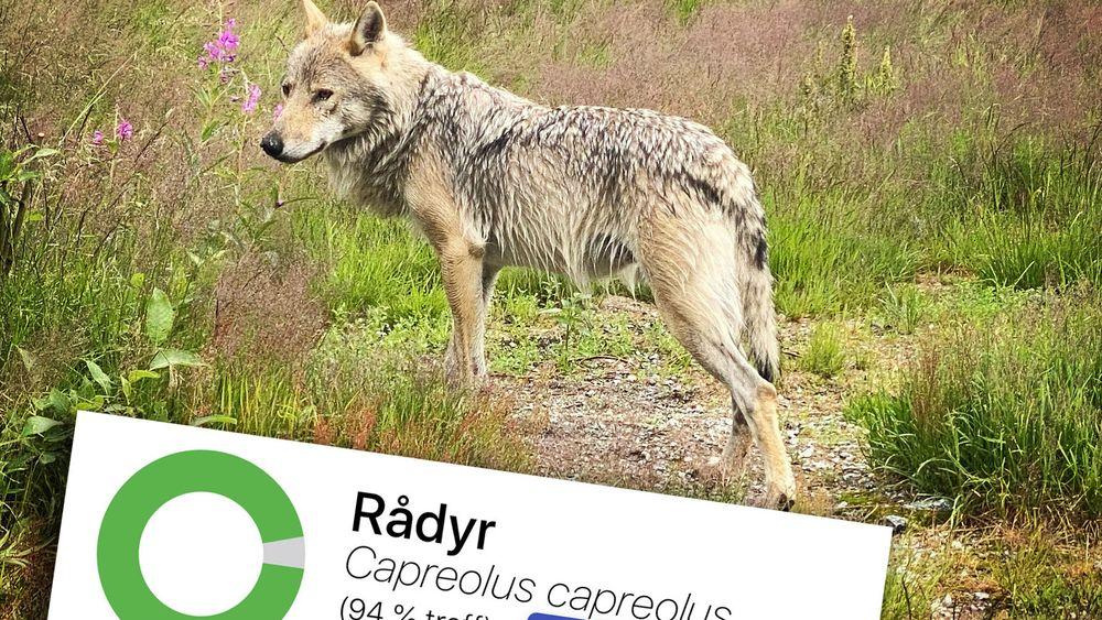 Artsdatabanken har blant annet utviklet en webapplikasjon som bruker kunstig intelligens til å gjenkjenne arter. Men den første versjonen har ikke fått nok trening enda, her blir en ulv tatt for å være et rådyr.