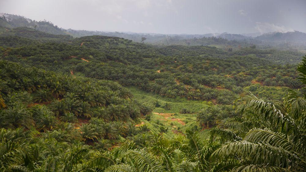 Regnskog på Sumatra. Bildet er tatt under statsminister Erna Solbergs besøk i 2015.
