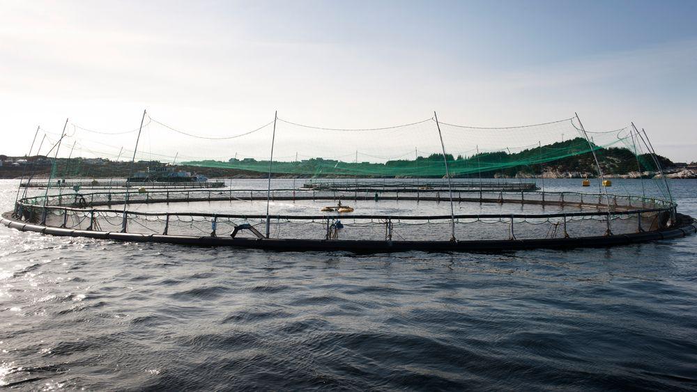 Forfatterne bak studien mener konklusjonene kan føre til konsekvenser for oppdrettsanlegg, der fisk er mer utsatt for parasitter.