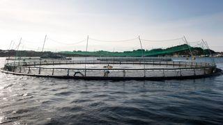 Studie viser at støyutsatt fisk har økt risiko for tidlig død: Kan gi konsekvenser for oppdrettsanlegg