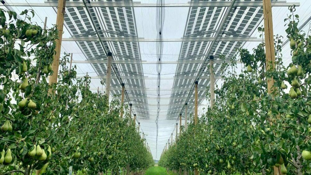 I Flandern dyrker KU Leuven pærer under et tak av solceller.