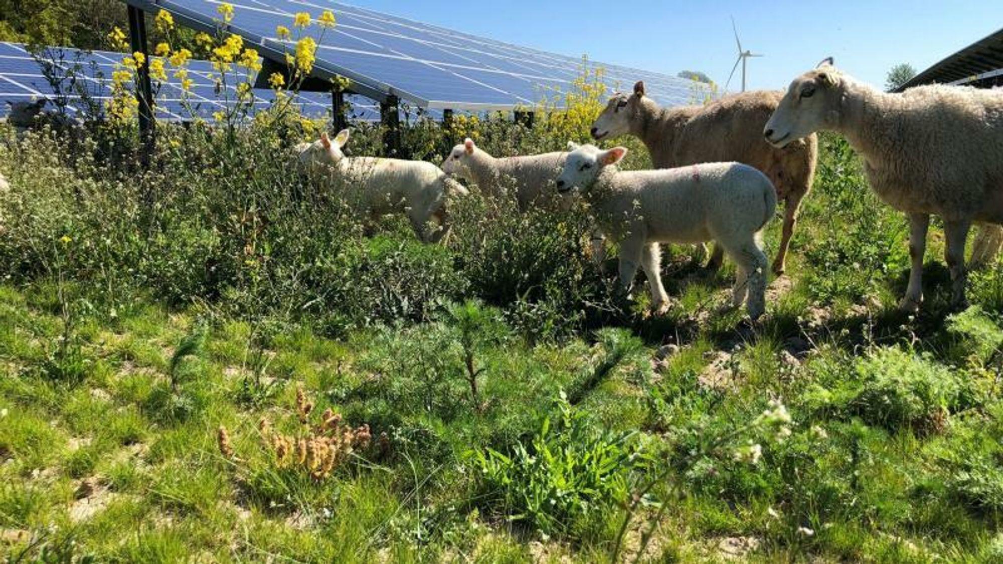 Mellom solcellepanelene i Begreens nye solcelleprosjekter skal det gå lam og sau eller drykes gressprotein.