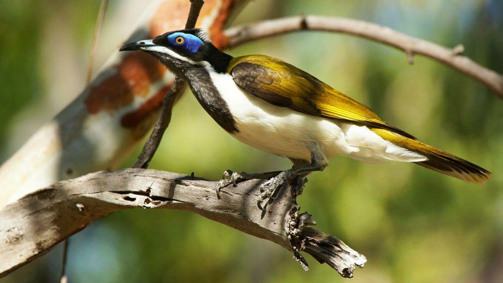 Den truede fuglearten honningeter holder til like ved der det nå planlegges produksjon av verdens største solbatteri.
