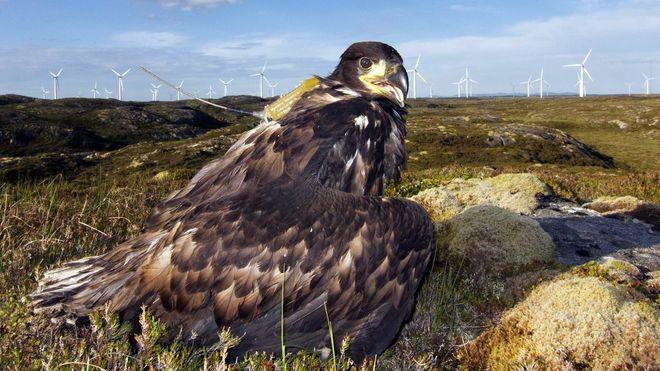 Vindturbiner dreper hundrevis av havørn – Kamera og kunstig intelligens skal redde fuglene