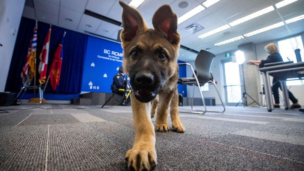 Flere land trener nå opp narkohunder til å kunne snuse seg fram til koronavirus.