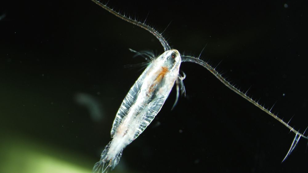 Den omstridte agnteknologien skal simulere lys fra dyreplankton