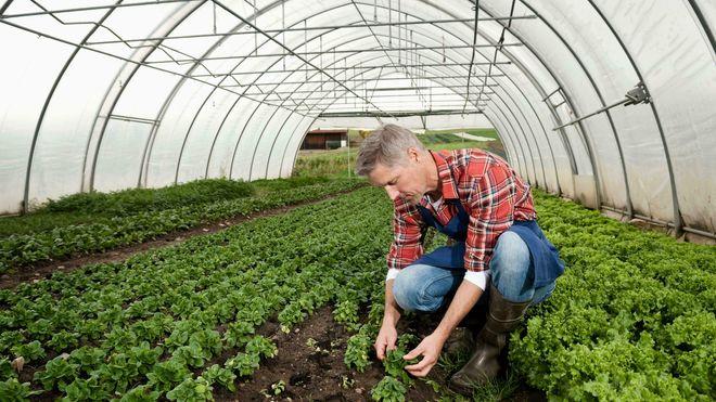 Forskerne ble selv overrasket over funnene sine, som viser at avlinger i drivhus ikke tar skade av solceller på taket.