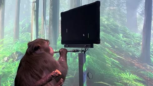 Elon Musk-selskap hevder denne videoen viser at en ape styrer dataspill med hjernen