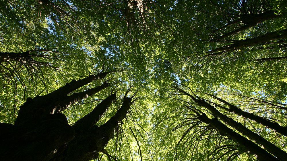 Forskere: Å plante skog overalt på kloden ville kompensert for kun 20 års klimautslipp