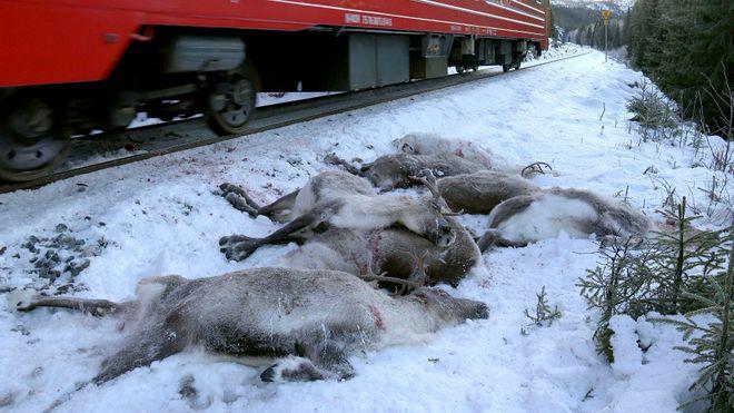 På Nordlandsbanen har 3000 rein blitt drept de siste fem årene, og jernbane tvers gjennom beiteland fra Fauske til Tromsø vil kunne få dyptgående konsekvenser, skriver artikkelforfatterne.