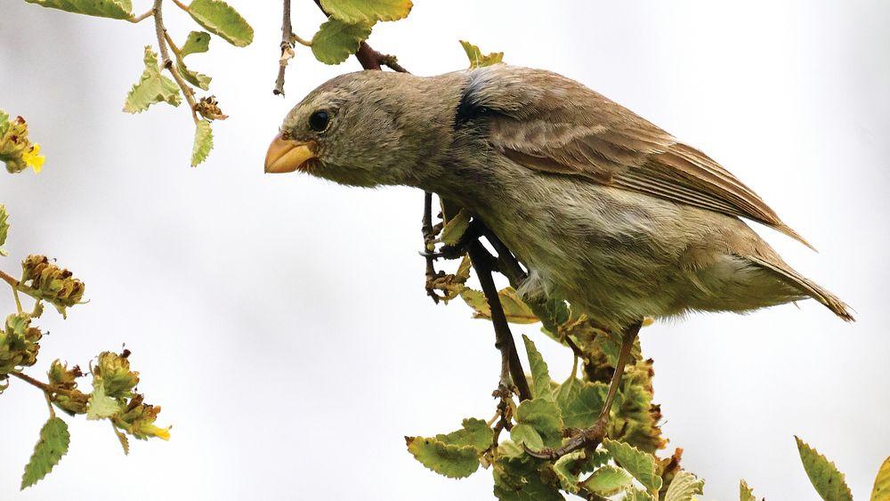 Et eksempel på rask evolusjon er hvordan nebbstørrelsen til Darwin-finkene endret seg.