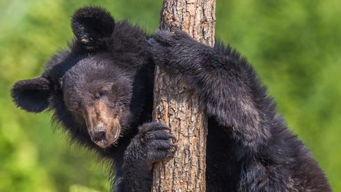 Forskergruppen fant ut at menneskenes bruk av antibiotika også påvirket bjørnenes bakterier og deres motstandsdyktighet.