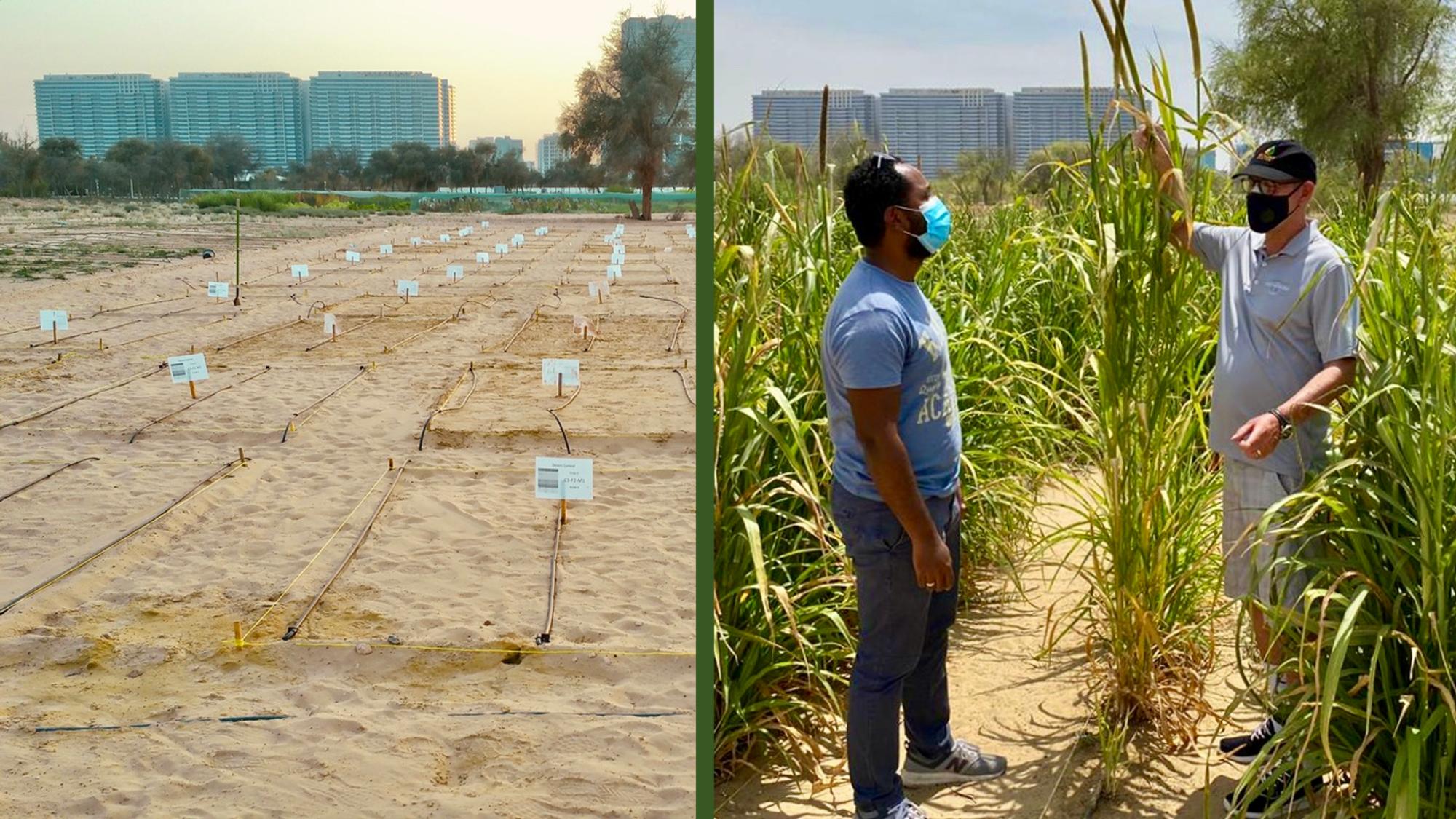 Etter fem måneder: Utenfor Dubai har Desert Control dyrket vannmelon, squash (zucchini) og perlehirse i ørkenen. Resultatet var 20-50 prosent vannbesparelse og økt avlingsutbytte fra 17-62 prosent for dette prosjektet.
