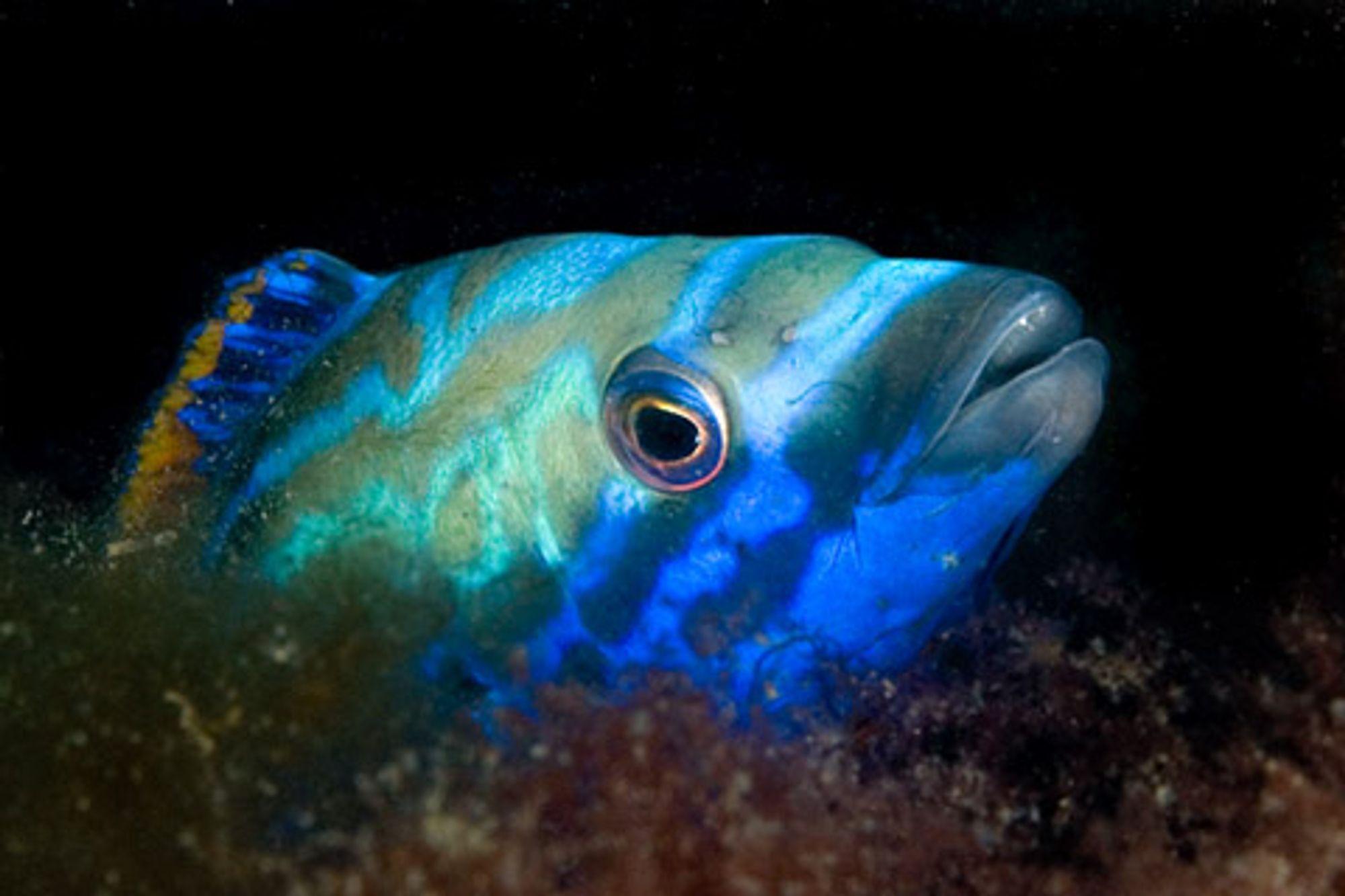 Blåstål er en av de vakreste fiskene vi har i Norge. Det lyse blåfargen i panna er en del av parringsdrakten.