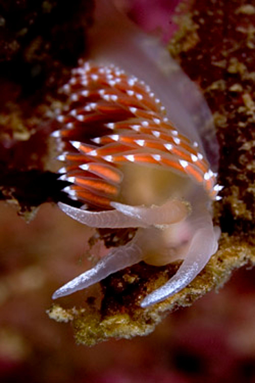 Nakensnegler er flotte undervannsmotiv. De beveger seg sakte og er derfor fine å øve seg på. Denne har fått sveis på frynsene pga dønningene.